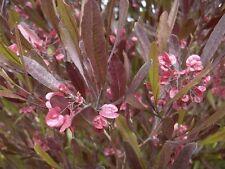Dodonaea viscosa purpurea Purple Hopseed Bush Shrub Seeds!