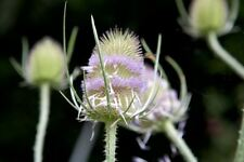 50 Graines de Chardon Sauvage Cardere Méthode BIO seeds fleurs méllifere