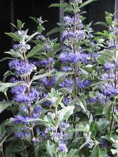 Bartblume Caryopteris clandonensis Heavenly Blue 40cm duftender Sommerblüher