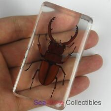 Real Insect Specimen - Fortune Stag Beetle (Lucanus fortunei)