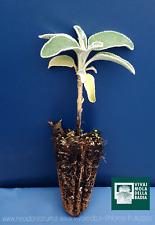PHLOMIS FRUTICOSA alveolo 1 pianta plant Salvione giallo Salvia di Gerusalemme