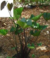 "Colocasia Tea Cup ""Elephant Ear"" Live Plant"