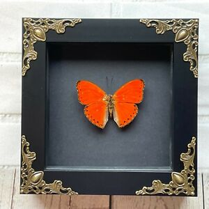 Orange Red Glider Butterfly (Cymothoe crocea) Baroque Box Frame Display Insect