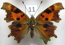 Polygonia c-album (Linnaeus, 1758) ex. ovo form Poland11