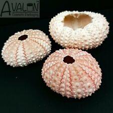 Pink Sea Urchins x 3 Beach Shells Natural Nautical Decor Airplant Vase Terranium