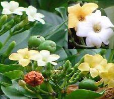 Lebendes Chamäleon : Der Parfümbaum Zimmerpflanze die blüht & duftet // Samen