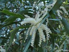 Maiden's Wattle (Acacia maidenii) - 30 2017 Seeds