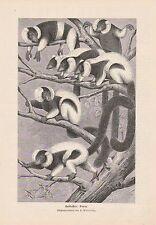 Schwarzweiße Vari Varecia variegata HOLZSTICH von 1903 Halbaffen