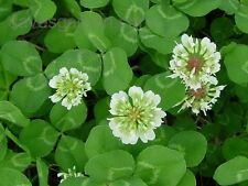 3 Lbs WHITE DUTCH CLOVER SEED For Lawns Ground Cover Bees Coated & Inoculated