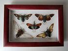 Cadre cigales papillons sous verre 33x23cm