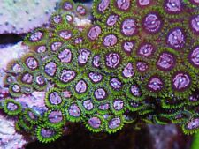 New listing Purple Monster Zoanthids Mushroom Live Coral Frag Lps Fish Aquarium Reef Tank