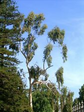 Eucalyptus Citriadora 25 seeds Lemon scented Eucalyptus