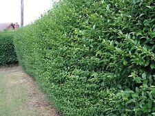 10 Green Privet Hedging Plants Ligustrum Hedge 40-60cm,Dense Evergreen,Big Pots