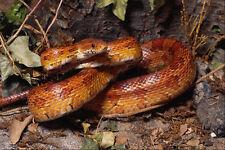 699018 maïs Serpent position défensive Elaphe guttat A4 Photo Texture Imprimé