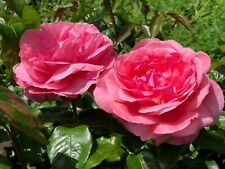 SPECIAL ANNIVERSARY   Hybrid Tea Rose   7ltr Potted Rose Plant   Pink, Scented