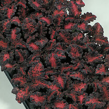 Coleus Seeds  - BLACK DRAGON - Grow Indoors or Outdoors  - 50 Seeds