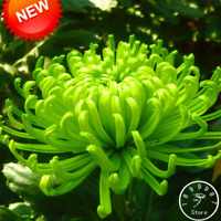 Rare Green Chrysanthemum Flowers Plants Bonsai 100 PCS Seeds Free Shipping 2019