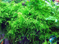 Weeping Moss -for Live crystal red fish plant shrimp AB