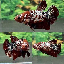 Live Betta Fish Male Koi Nemo Copper Galaxy HMPK # CC28