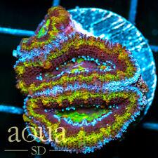 New listing Asd - 021 Grouchy Acan - Wysiwyg - Aqua Sd Live Coral Frag