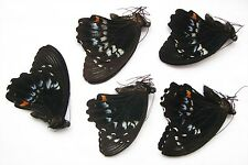 Papilio gambrisius 5 males wholesale good for artwork butterfies for frame
