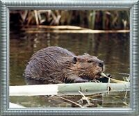 Beaver Wildlife Sea Animal Wall Decor Silver Framed Art Print Picture (20x24)