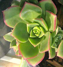 Aeonium Haworthii Lovely Ground cover Succulent Cutting
