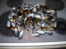 100+ Atlantic Blue Mussel Half Shells 1-2 inches for crafts, sailors valentines