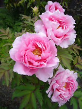 3 graines PIVOINE EN ARBRE ROSE(Paeonia Suffruticosa)G686 PINK TREE PEONY SEEDS