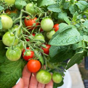 Zwergtomate SIBIRISCHE ZIMMERTOMATE Tomatensamen 10+ Samen Zwergsorte