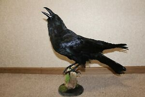 Stuffed European Raven Crow Taxidermy Corvus corax