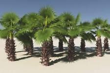 Mexican Fan Palm ( Washingtonia robusta) 20 Seeds