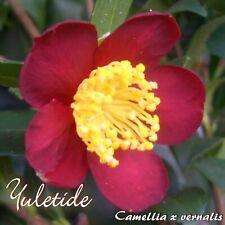 """Kamelie """"Yuletide"""" - Camellia x vernalis - 4-jährige Pflanze"""