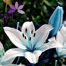 Lily Blue Heart Flower  Bulbs (Not Lily Seeds) - 6 Bulbs Garden Home