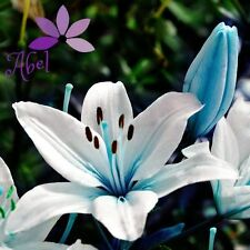 Lily Blue Heart Flower  Bulbs (Not Lily Seeds) - 4 Bulbs
