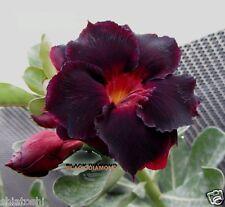"""Adenium Grafted plant 5.5"""" SR-129 - """" Black Diamond"""" in Actual color"""