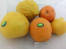 30 Mixed Citrus Fresh Seeds Israel Citron Lemon Orange Tangerine Etrog זרעים
