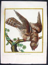 1771,MARTINET Hand/Color FOLIO COPPER GRAND CRAPAUD-VOLANT DE CAYENNE UR5