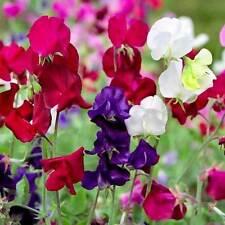 Lathyrus Seeds - HARDY SWEET PEA MIX - Perennial Climbing Vine - 10 Seeds