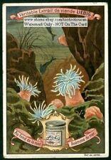Sea Anemone De Mer Beautiful c1899 Chromo Ad Trade Card