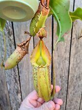 Nepenthes ( boshichania x fusca) X veitchii Bario Carnivorous pitcher