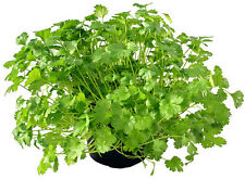 Coriander - Cilantro (Coriandrum sativum) 30 Reliable Viable Seeds