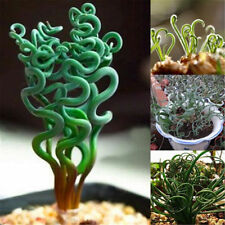 200 Pcs Rare Spiral Grass Flower Seeds Succulents Plant Grass Seeds Home Garden