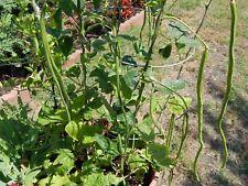 New listing Asian Yard Long Beans / Asparagus Beans - 25 Fresh Seeds