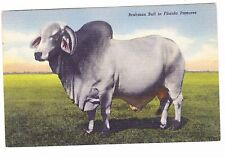 BRAHMAN BULL IN FLORIDA PASTURE-- POSTCARD