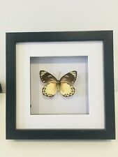 Real Common Jezabell Butterfly, Insect Taxidermy