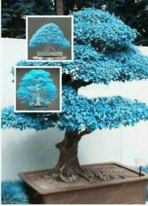 20 Seeds Japanese Maple Tree Blue Leaf  Bonsai Acer Seeds   (JPN5)