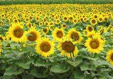Black oil Sunflower 50 seeds * Great bird food * Non GMO* CombSH