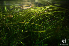 Sagittaria natans - Live Aquarium/Fish Tank Plant