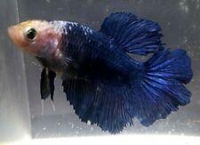 New listing Betta Royal Blue Piebald Rose Tail Halfmoon Hm Juvenile Female Premium Mf13
